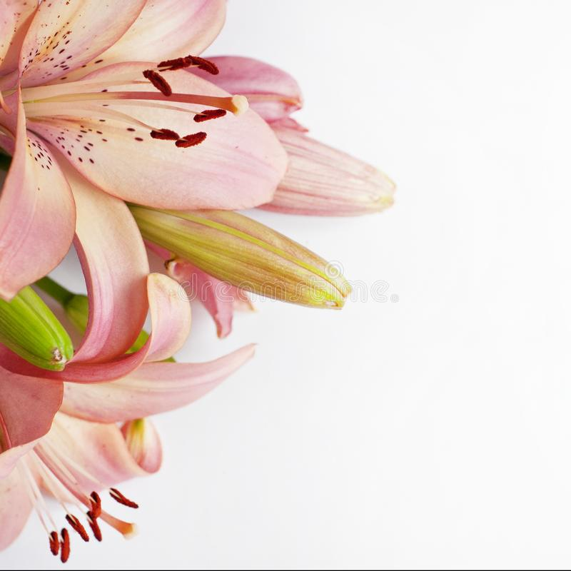 Pink tender lilies on a white background.  royalty free stock photos