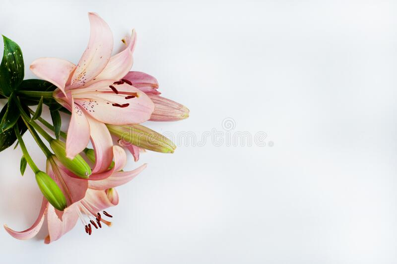 Pink tender lilies on a white background. Copy space.  royalty free stock photo