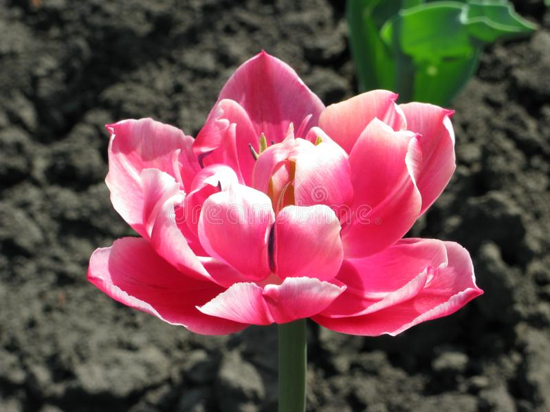 Pink terry tulip royalty free stock images