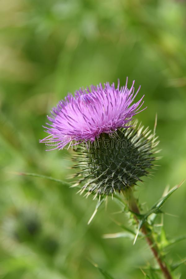 Pink Thistle royalty free stock images