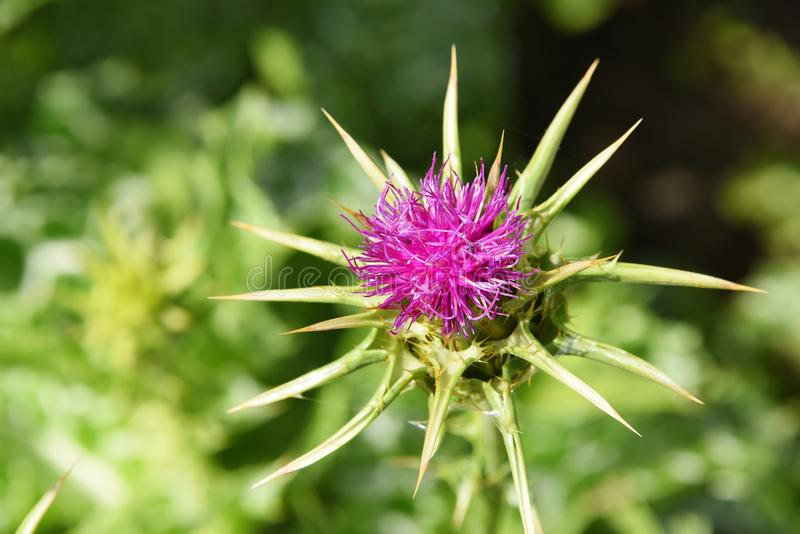 Pink Thistle royalty free stock photo