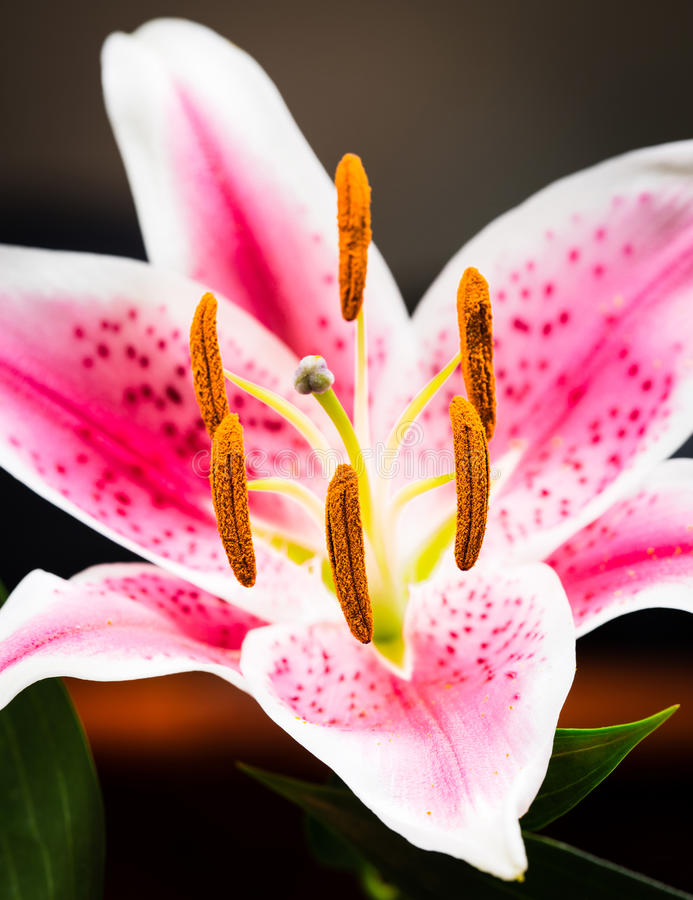 Pink tiger lily. Closeup of single pink tiger lily flower in bloom royalty free stock photos