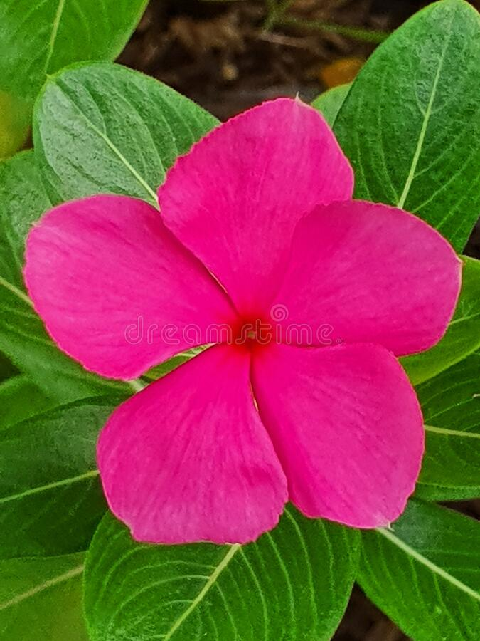 Pink tread flower in the green garden royalty free stock image
