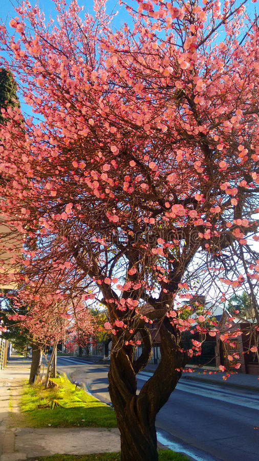 Pink tree. Beatifull tree with pink leafs royalty free stock photo