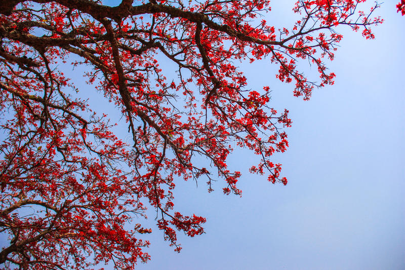 Pink tree in India. The Pink tree in the blue background in India stock images