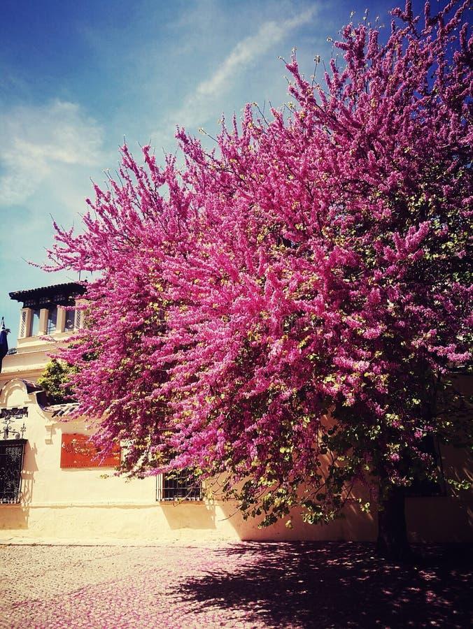 Pink tree royalty free stock photo