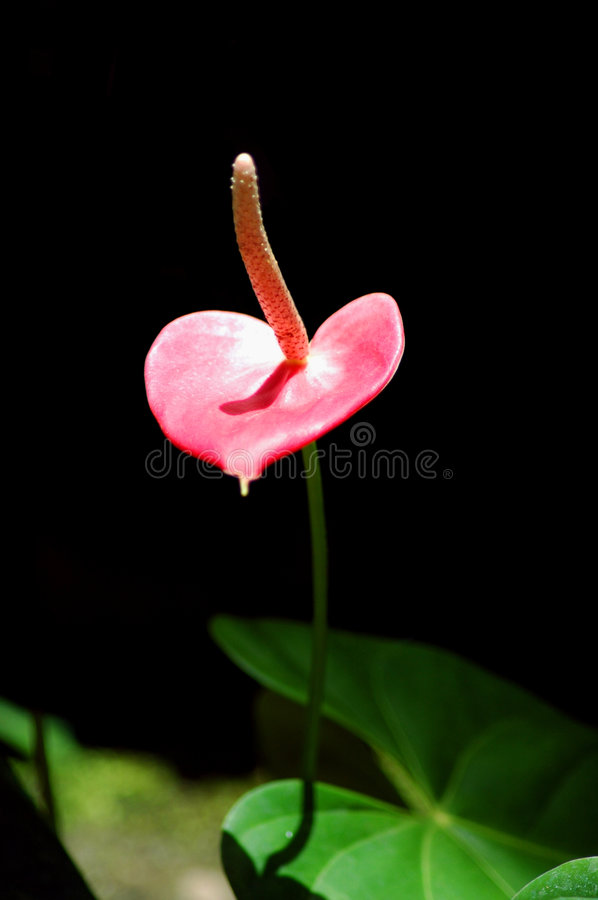 Pink tropical flower stock photo