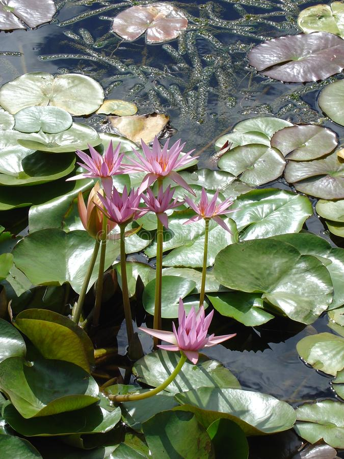 Pink Tropical Water Lily's Free Stock Images