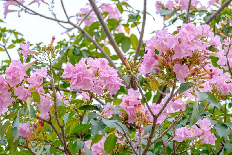 Pink trumpet flowers are blooming in full of tree stock image download pink trumpet flowers are blooming in full of tree stock image image of branch mightylinksfo