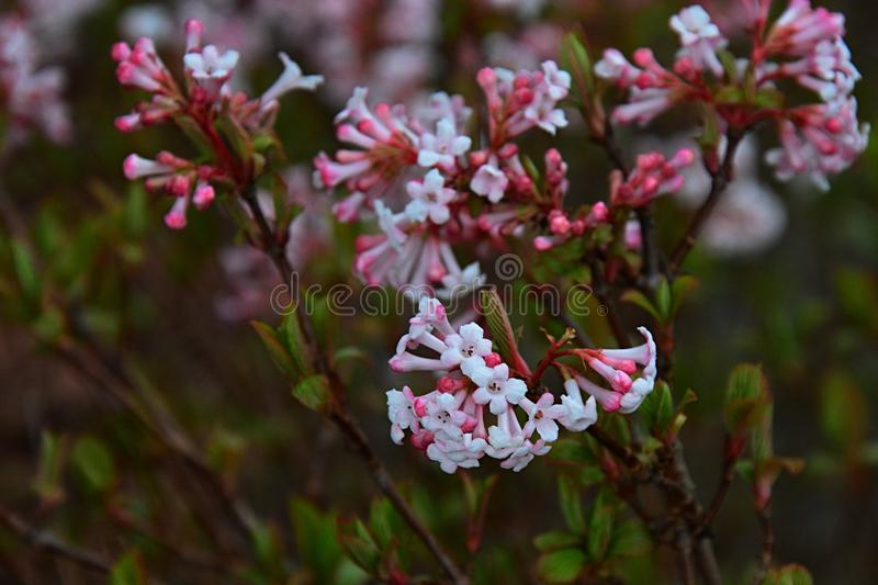 Pink trumpet shaped flower cluster of flowering shrub plant Viburnum Farreri. Native to northern China stock photography