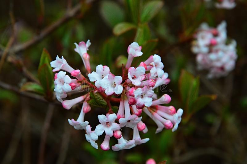 Pink trumpet shaped flower cluster of flowering shrub plant Viburnum Farreri. Native to northern China stock images