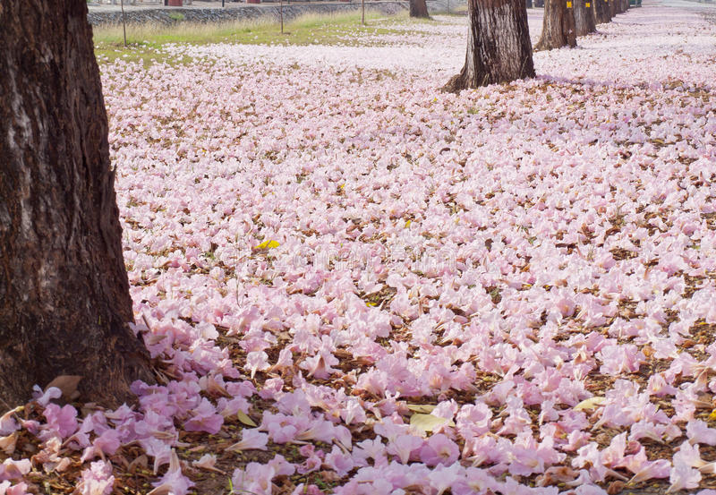 Download Pink trumpet tree stock photo. Image of poui, countryside - 23290302