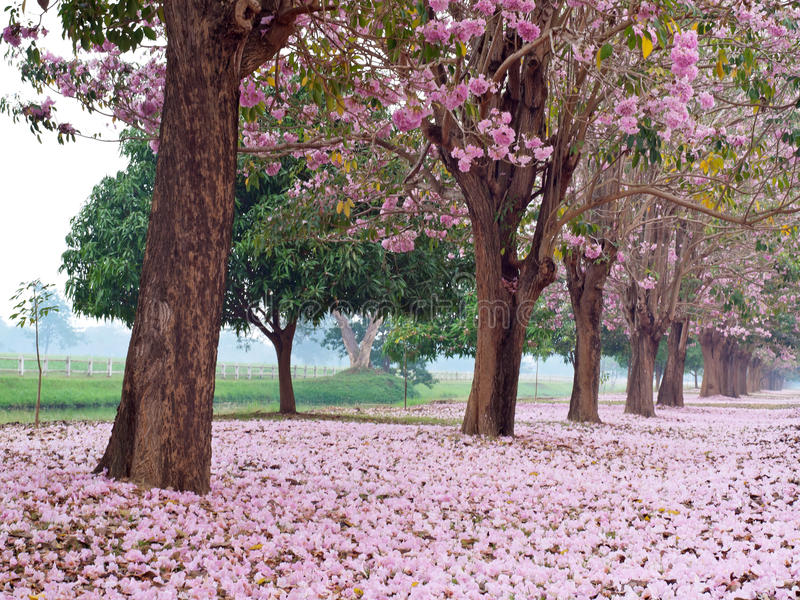 Pink Trumpet Tree Stock Image