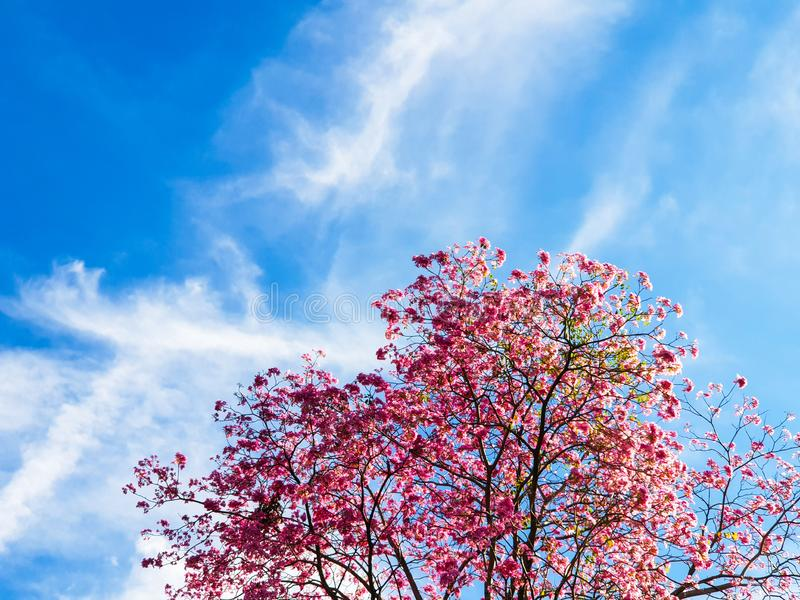 Pink trumpet tree with blue sky background royalty free stock image