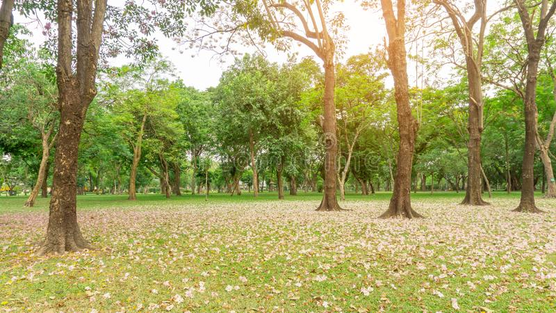 Pink Trumpet tree or Tabebuia rosea flower blossom and fall on green grass lawn yard under the trees, garden in Chatuchak park. Bangkok, Thailand royalty free stock images
