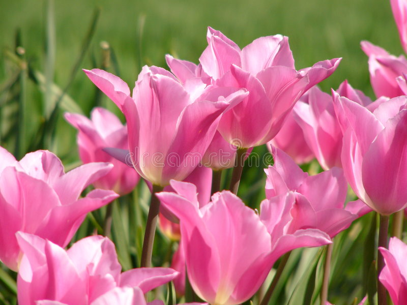 Download Pink tulip stock image. Image of nature, stem, tulips, color - 185409
