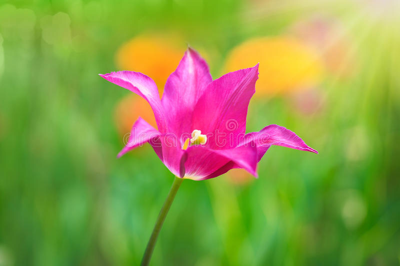 Pink tulip on the background of green grass close-up. royalty free stock photography