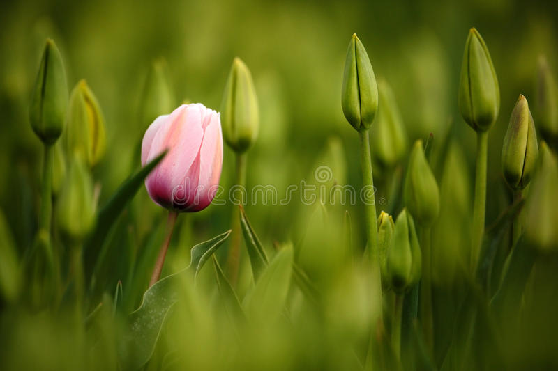Pink tulip bloom, red beautiful tulips field in spring time with sunlight, floral background, garden scene, Holland, Netherlands. Europe royalty free stock photo