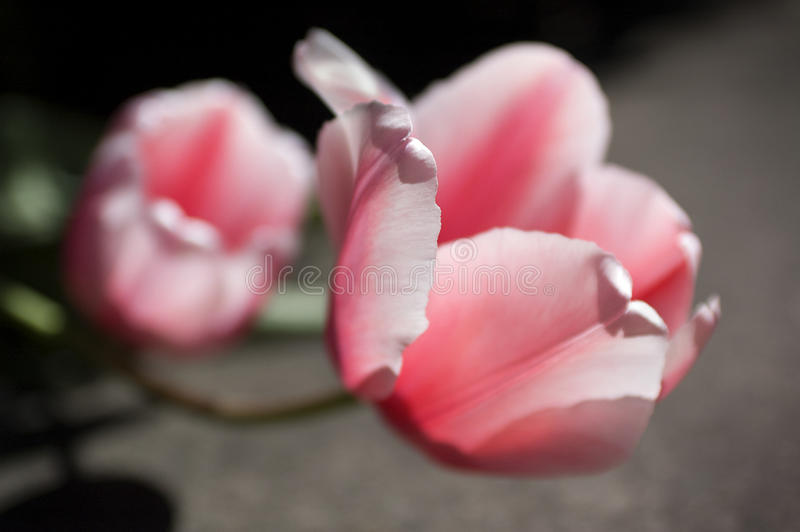 Pink tulip in bloom on sunny day. Closeup soft focus macro of i stock images