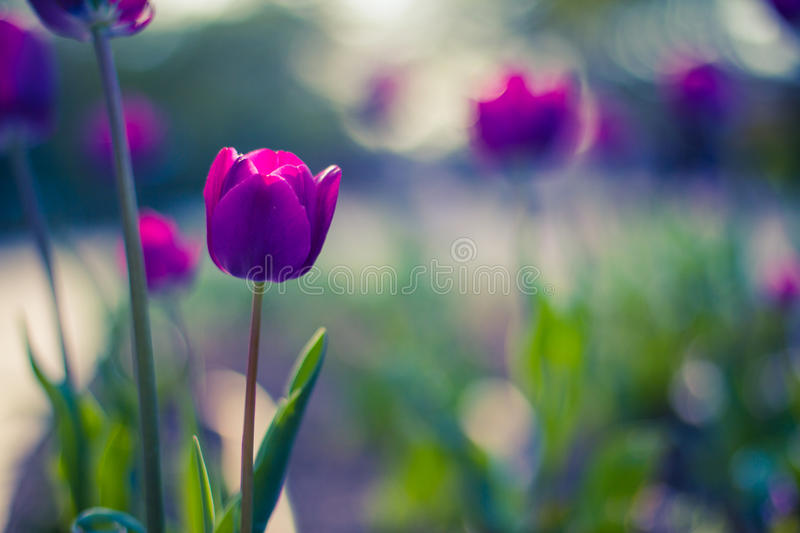 Pink tulip with bokeh. Sunset Tulips with gorgeous bokeh background stock images