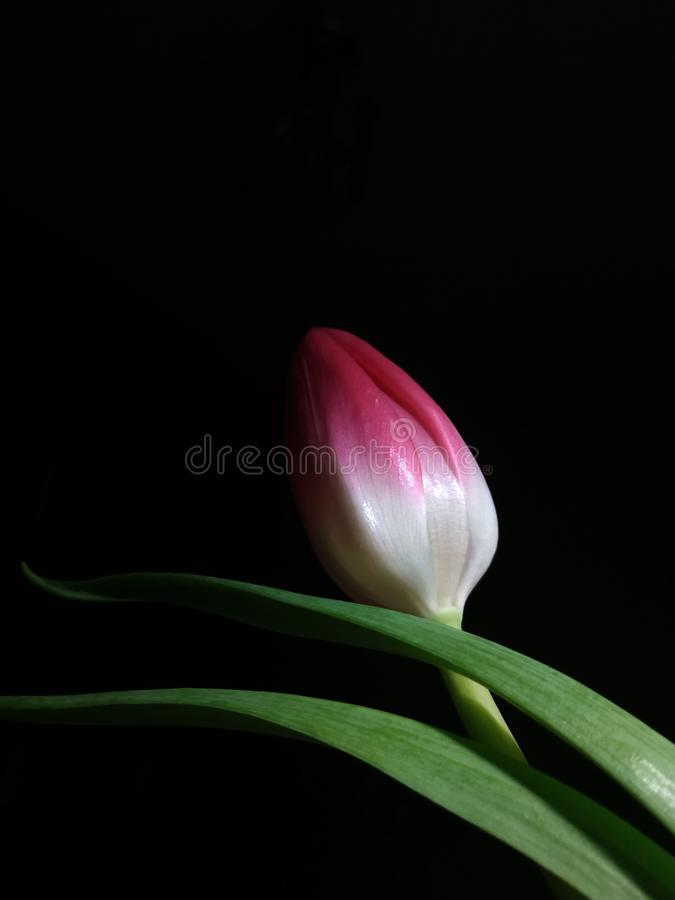 Pink tulip bud on black background. The photo shows a lonely small fragile white and pink tulip bud on a black background royalty free stock photography