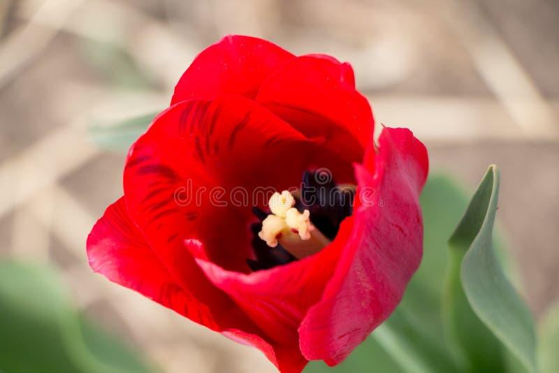 Pink tulip bud in the garden.  stock image