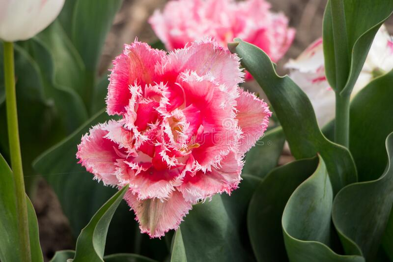 Pink tulip bud in the garden.  royalty free stock photo