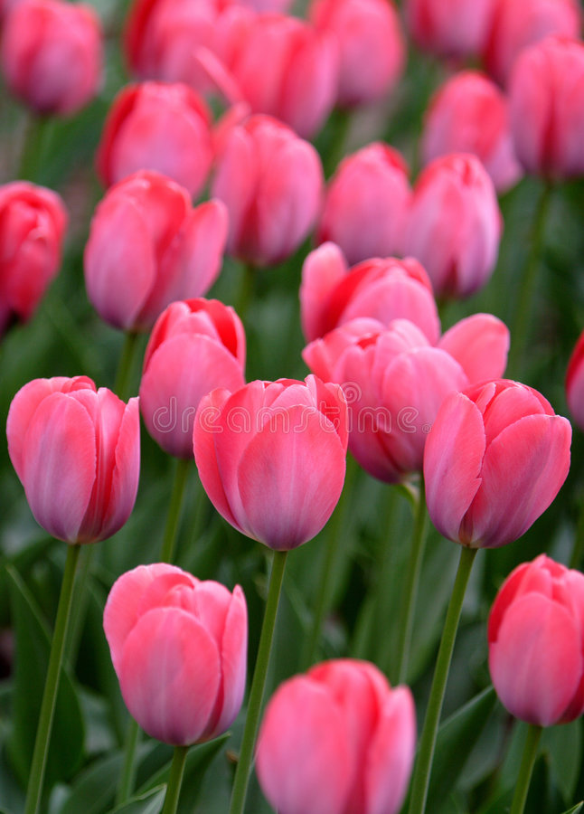 Download Pink tulip details stock photo. Image of details, nature - 5321790