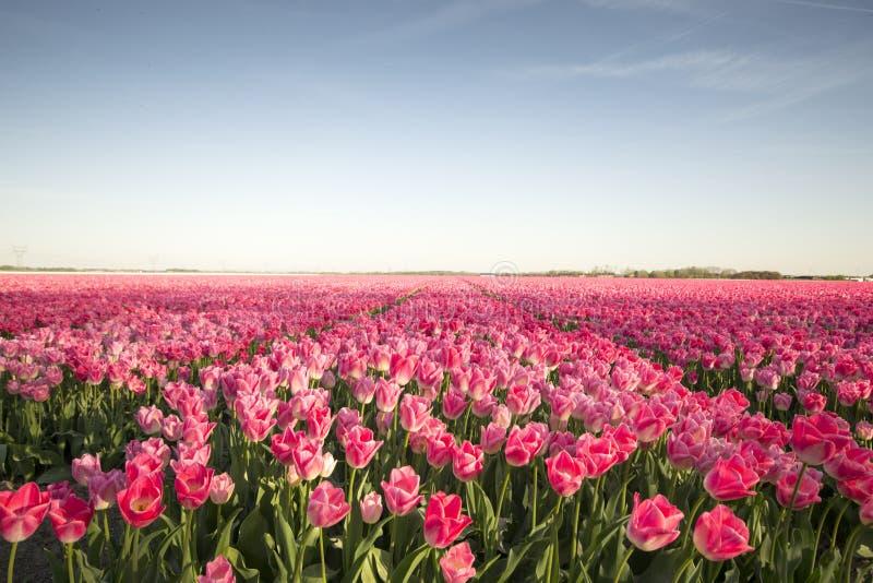 Pink tulip field II stock photo