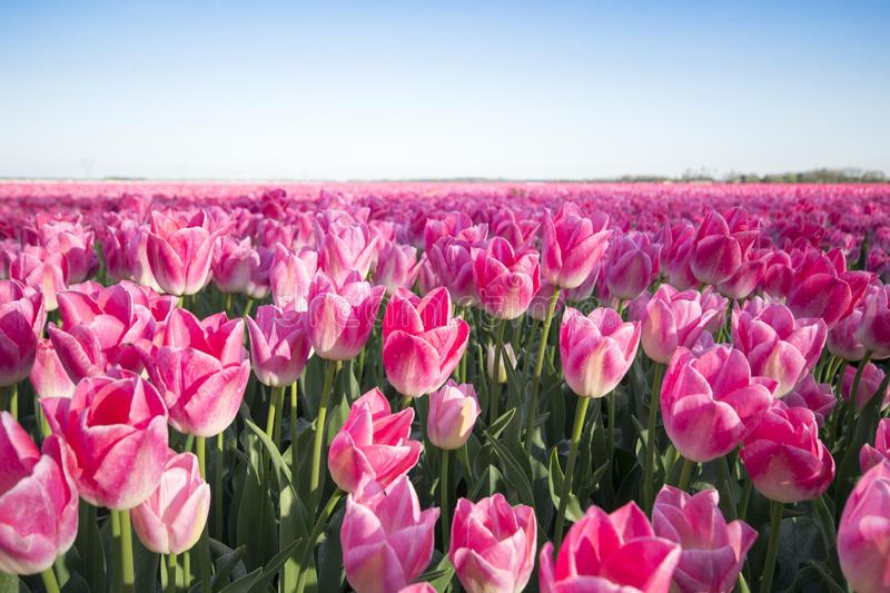 Pink tulip field I. A pink tulip field near the city of Dronten royalty free stock images