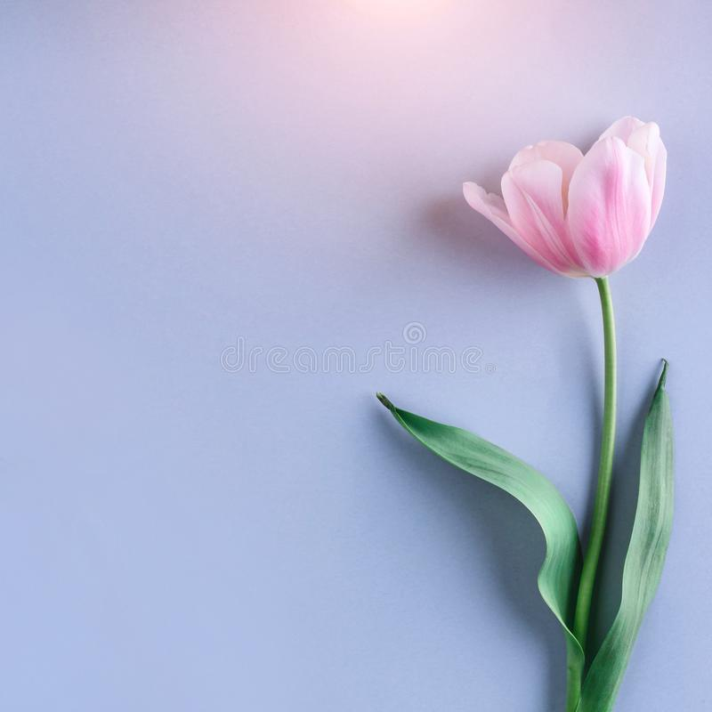 Pink tulip flower on blue background. Card for Mothers day, 8 March, Happy Easter. Waiting for spring. Greeting card royalty free stock image