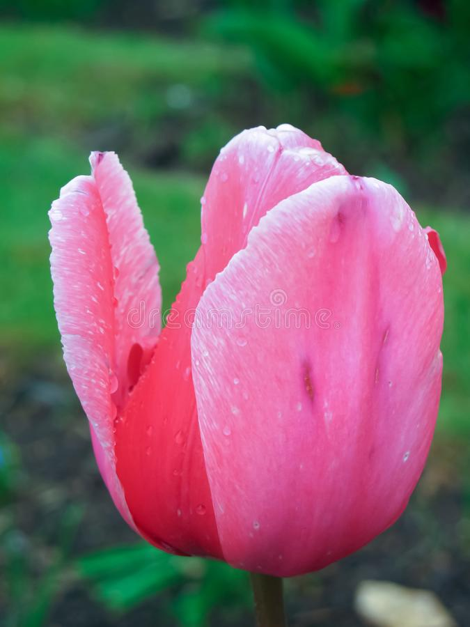 Pink Tulip flower at park, close up. Beautiful colorful tulip flower photo at park, background with water drop after rain stock photography