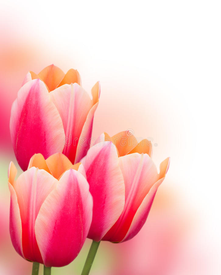 Pink Tulip Flowers Background Stock Images