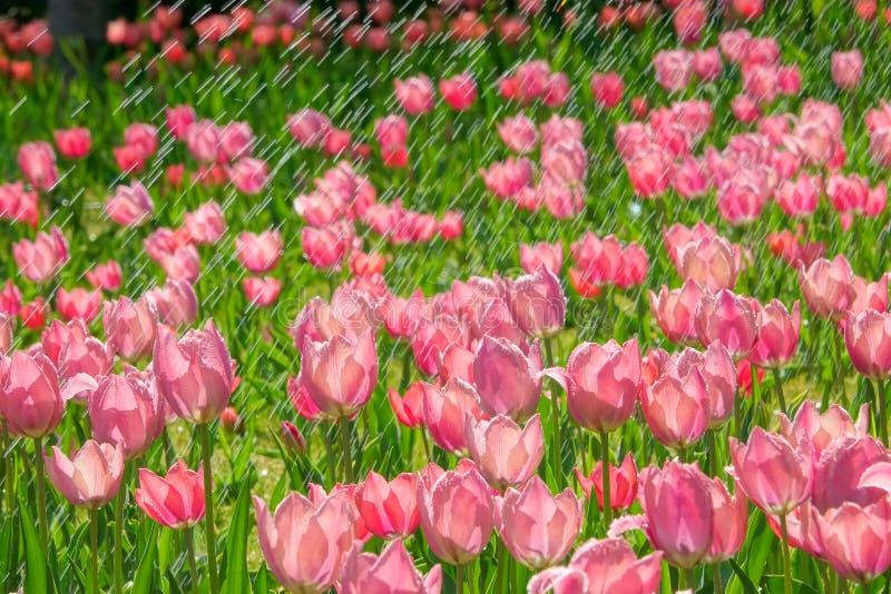 Tulip in rain stock image