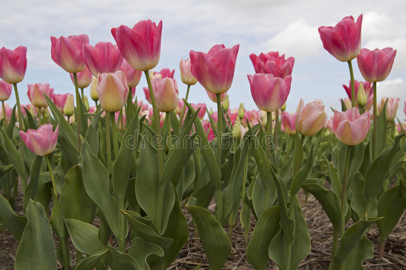 Pink tulip flowers. Pink tulips in the front - Photo made with a frog perspective stock images