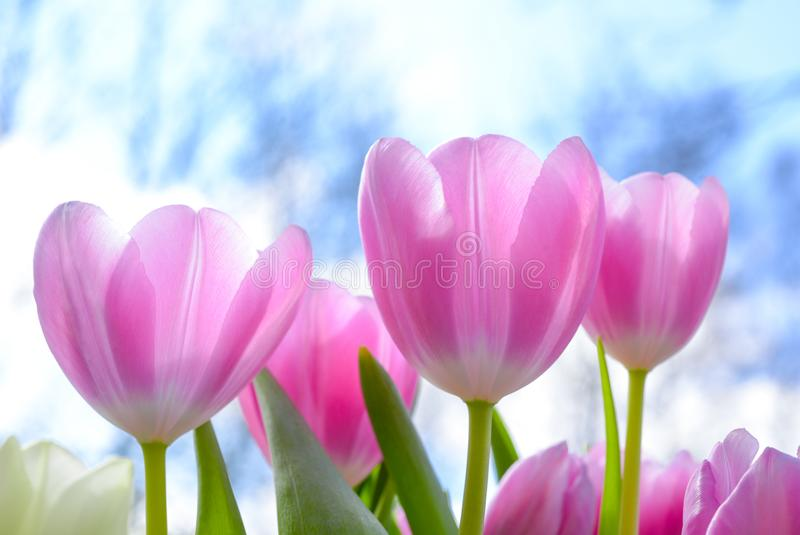 Pink Tulip Flowers Under White Clouds Blue Skies at Daytime stock image