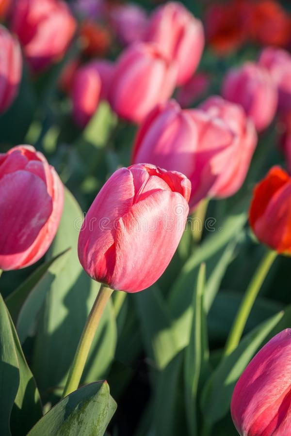 Pink tulip garden closeup royalty free stock photo