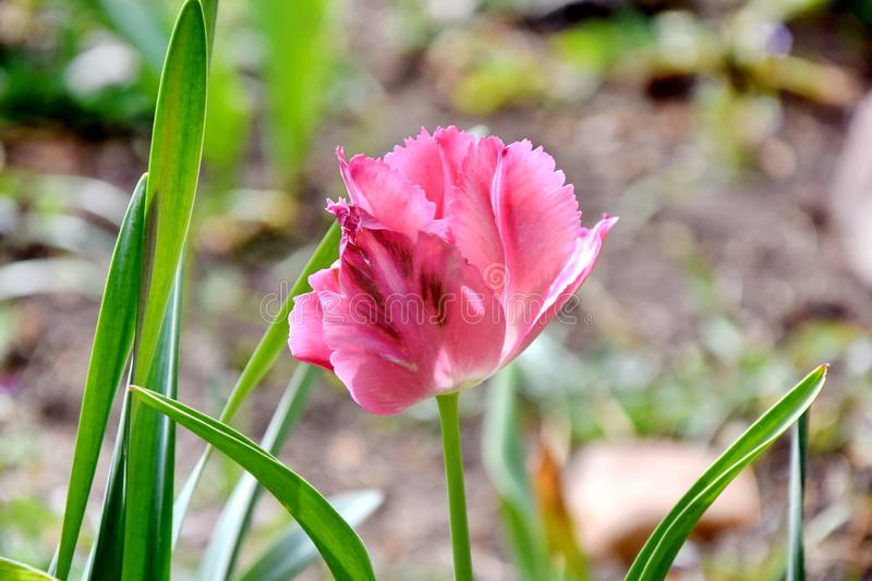 Pink Tulip at Home Garden stock photo