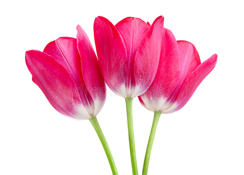 Pink tulip isolated royalty free stock image