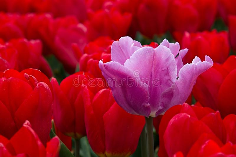 Pink tulip and red tulips royalty free stock photo
