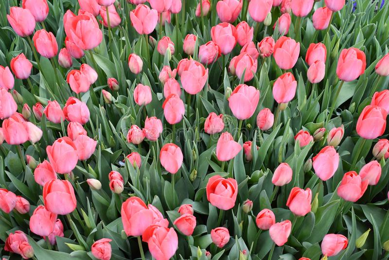 Pink tulip, tulip time, spring background, flower background. Tulip background stock photo
