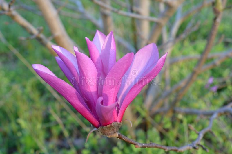 Pink Tulip Tree royalty free stock images