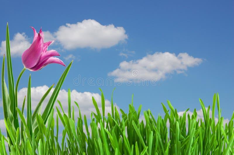 Download Pink tulip under blue sky stock image. Image of blue - 21582187