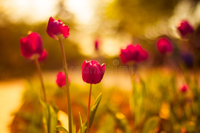 Pink tulip with warm bokeh. Sunset Tulips with gorgeous bokeh background royalty free stock images
