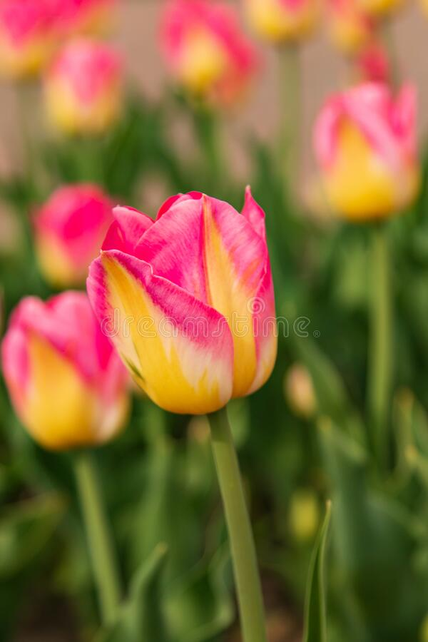 Pink tulip with yellow in the garden.  stock image