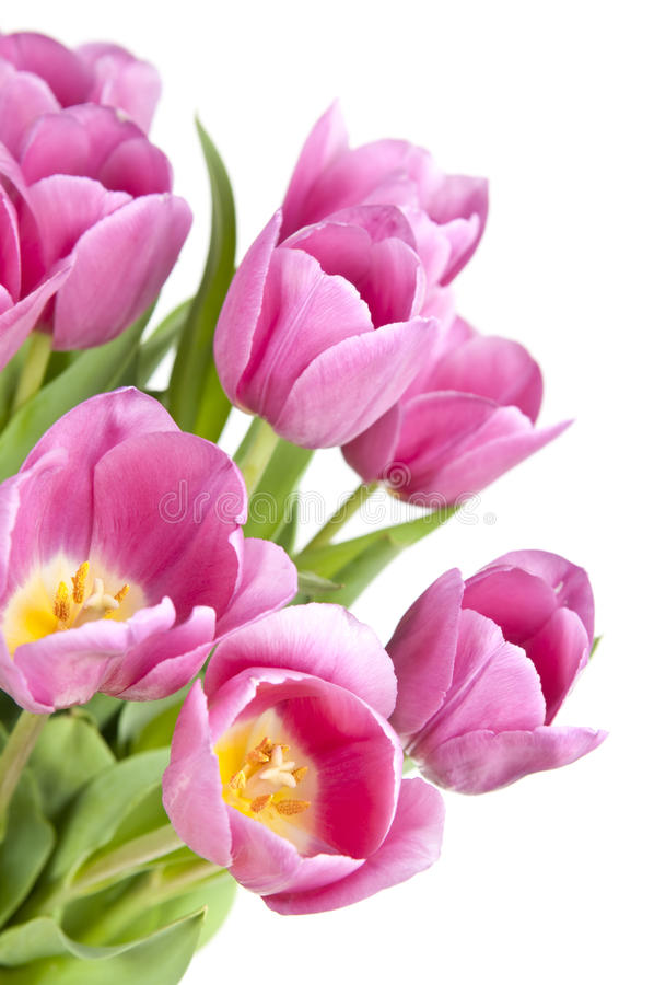 Pink tulips royalty free stock photos