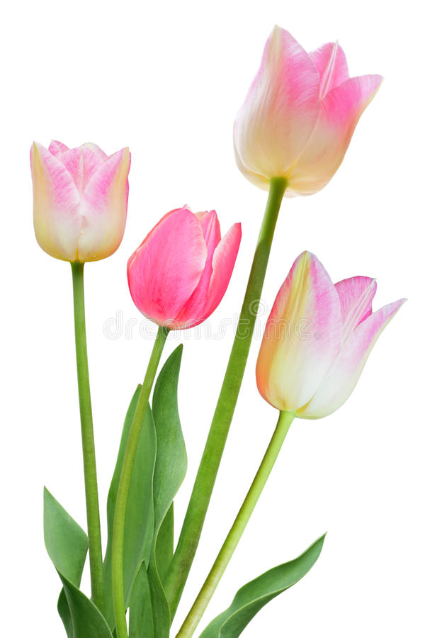Pink Tulips stock photography