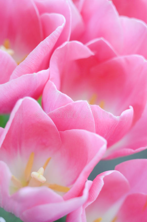 Download Pink tulips stock photo. Image of focus, tender, flowers - 25507272