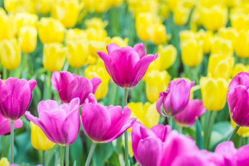 Pink tulips bloom in the garden royalty free stock photo