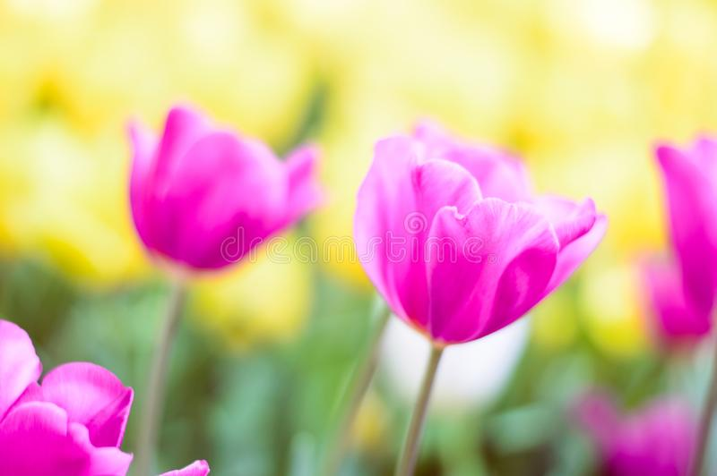 Pink tulips bloom in the garden royalty free stock image